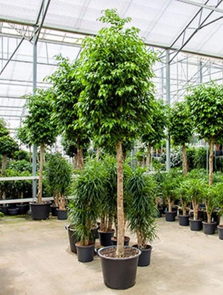 Ficus columnar 280 cm