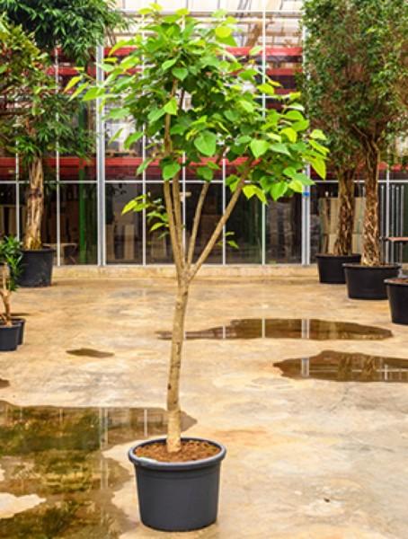 Ficus religiosa - Pappelfeige