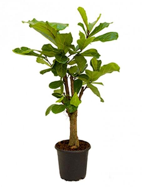 Ficus lyrata 180 cm - Geigenfeigenbaum