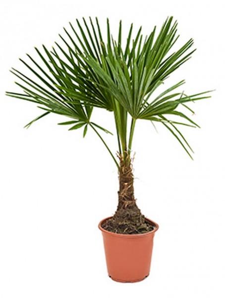 Trachycarpus fortunei | Hanfpalme
