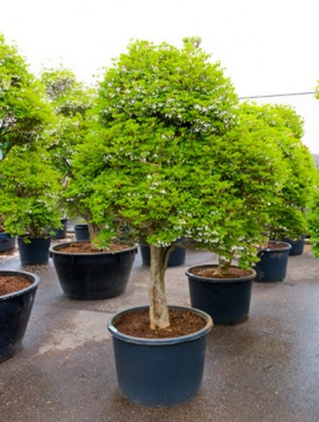 Enkianthus perulatus 250 cm | Baum