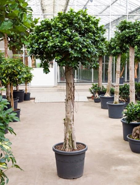 Ficus microcarpa compacta 190 cm