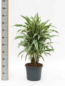Dracaena white stripe 100 cm - Drachenbaum