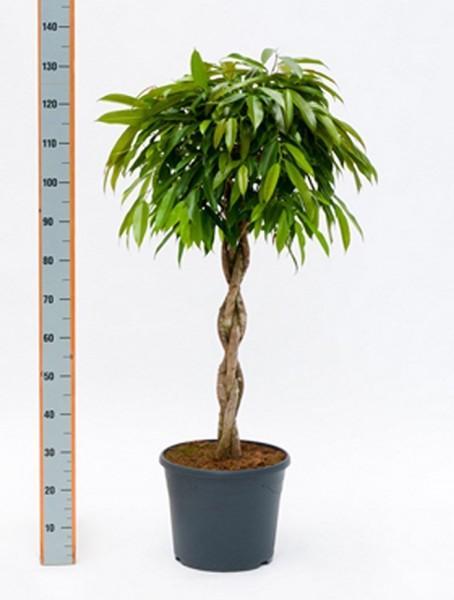 Ficus amstel king | Stamm geflochten