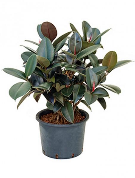Ficus elastica bourgondi 90 cm | Gummibaum