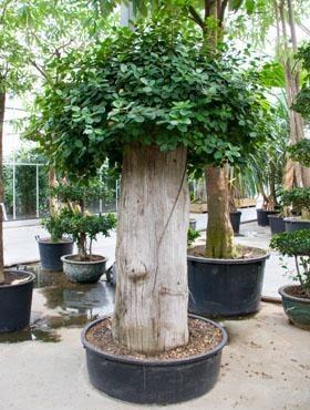 Ficus panda 270 cm