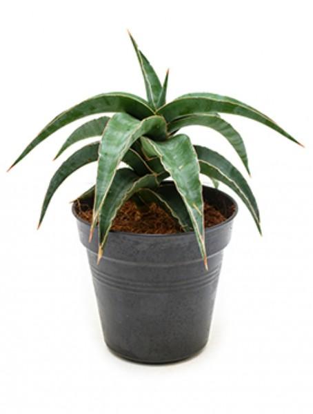 Sansevieria grey