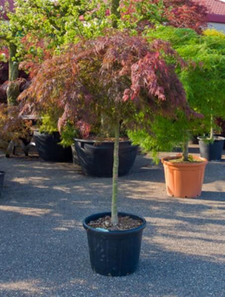 Acer diss. atropurpureum - Japanische Ahorne