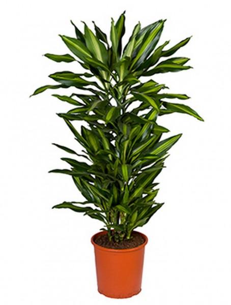 Dracaena cintho 120 cm - Drachenbaum