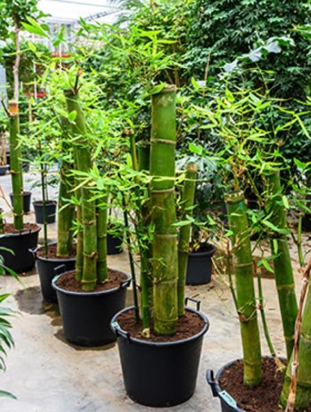 Bambusa vulgaris grün - Bambus multi Stamm