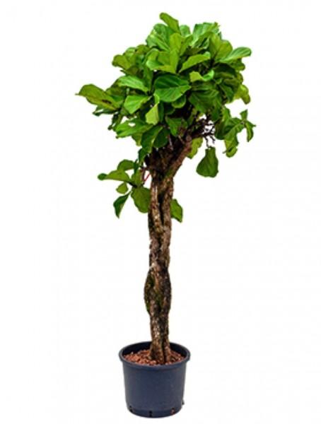 Ficus lyrata 180 cm - Geigenfeige geflochten