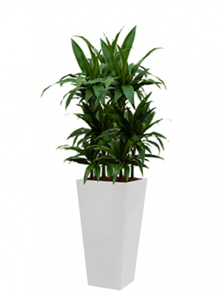 Runner Pflanzkübel eckig bepflanzt mit Dracaena janet craig
