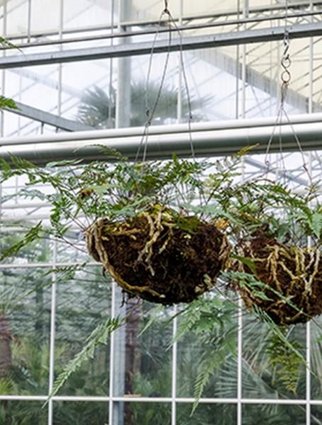 Davallia trichomanoides 50 cm | Eichhörnchenfuß im hängenden Korb