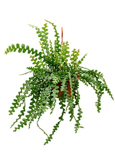 Epiphyllum anguliger Ampel