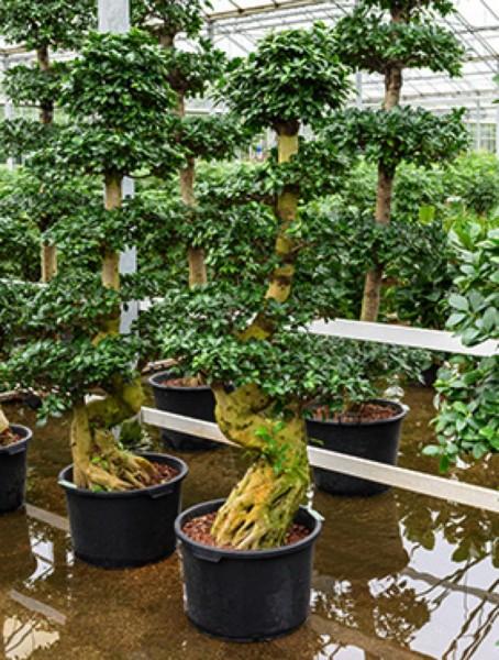 Ficus microcarpa compacta 190 cm - Bonsai