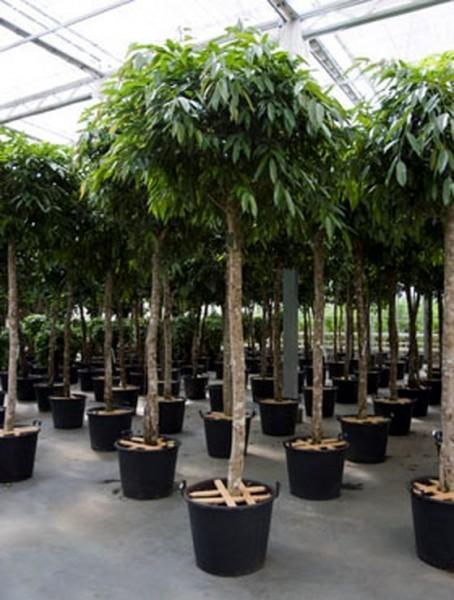 Ficus amstel king 320 cm | Baum