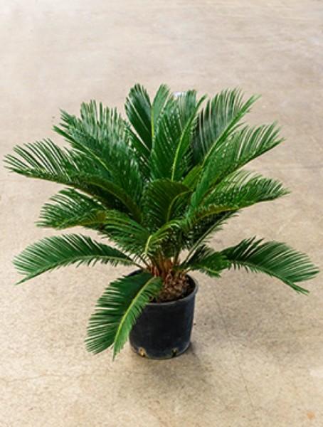 Cycas revoluta 70 cm - Palmfarn