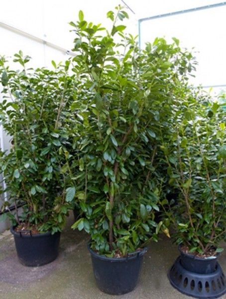 Prunus novita 220 cm - Lorbeerkirsche