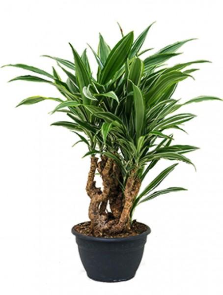 Dracaena deremensis - Drachenbaum Bonsai