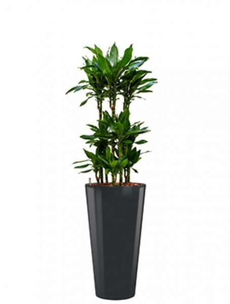 Runner Pflanzkübel rund bepflanzt mit Dracaena janet lind