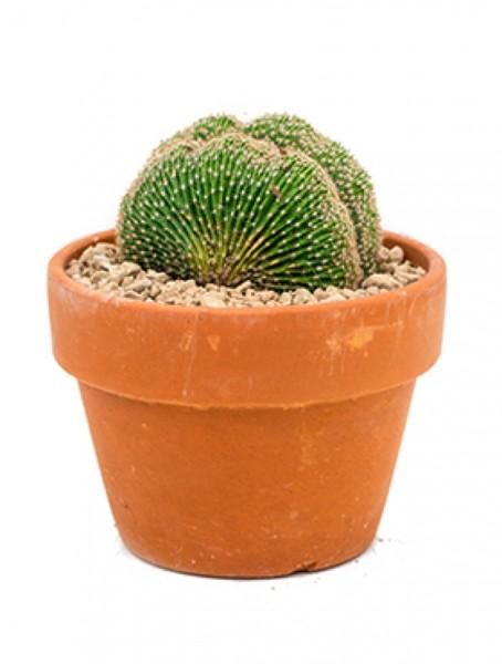 Echinopsis eyresii crestata