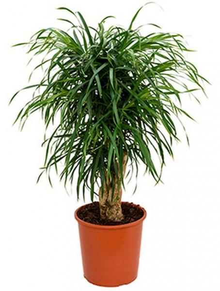 Pleomele anita - Drachenbaum