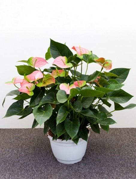 Anthurium and. joli rosa 55 cm | Flamingoblume
