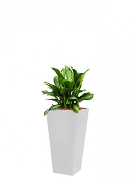 Runner Pflanzkübel eckig bepflanzt mit Aglaonema silver