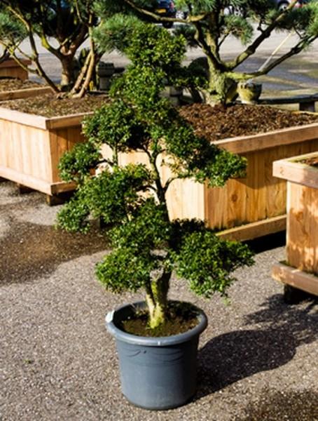 Ilex crenata 190 cm | Bonsaibaum