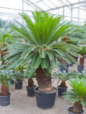 Cycas revoluta 225 cm