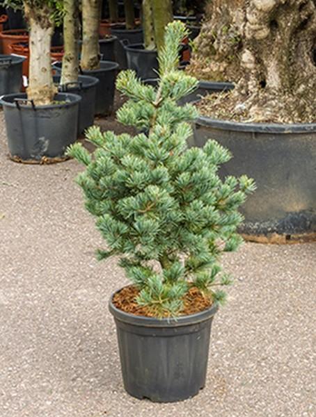Pinus parvifolia negishi