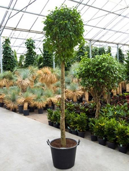 Ficus benjamina 300 cm   Birkenfeige
