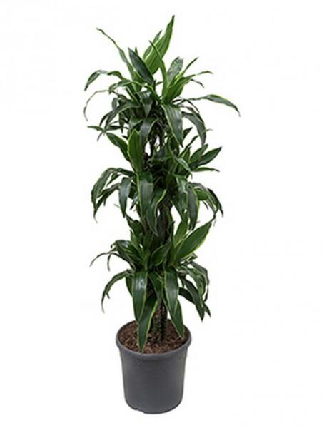 Dracaena arturo 150 cm | Drachenbaum