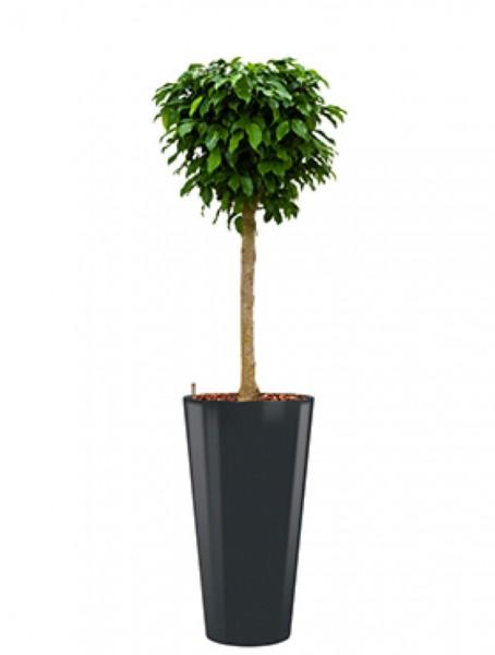 Runner Pflanzkübel rund bepflanzt mit Ficus columnar