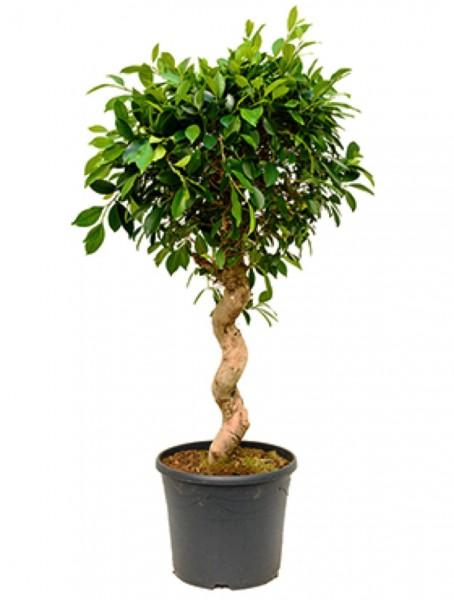 Ficus nitida - Lorbeerfeigenspirale