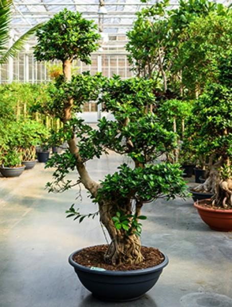Ficus microcarpa compacta Bonsai 210 cm