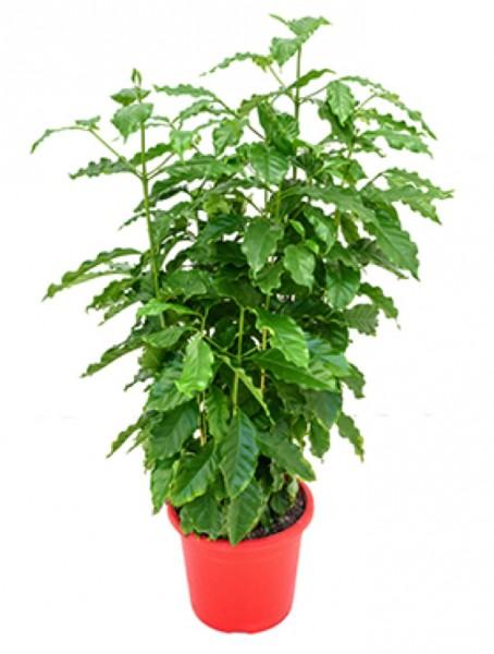 Coffea arabica busch | Kaffeestrauch
