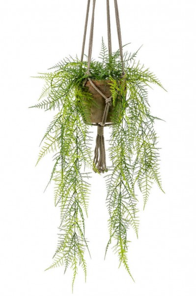 Asparagus plumosus Ampel 80 cm im hängenden Topf