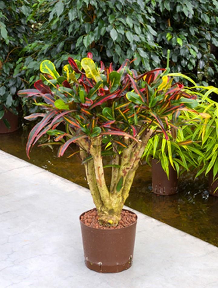 Croton mamey wunderstrauch bonsai hydrokultur for Bonsai hydrokultur