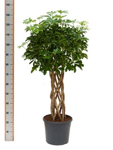 Schefflera arboricola 120 cm - Strahlenaralie Zylinder