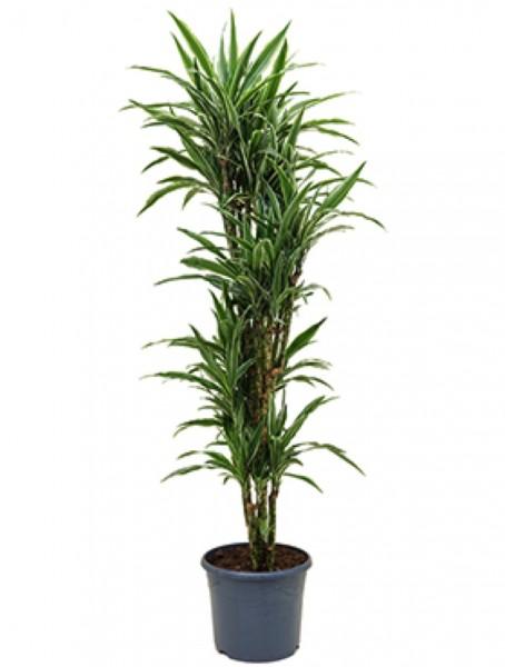 Dracaena deremensis - Drachenbaum verzweigt
