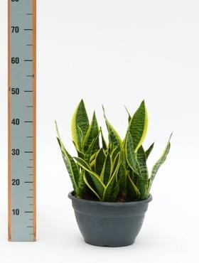 Sansevieria superba 40 cm