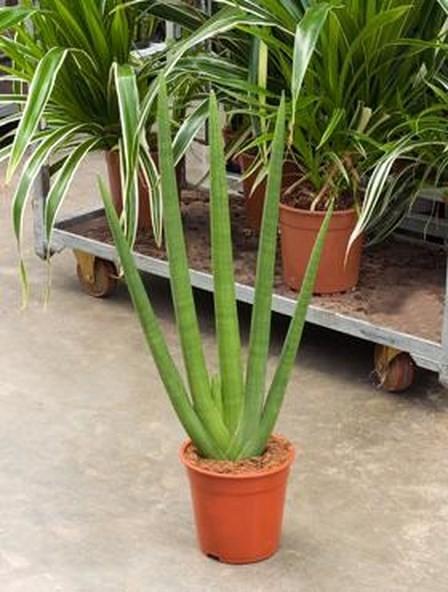 Sansevieria cylindrica | Bogenhanf