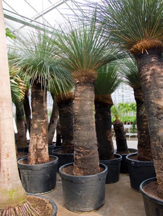 Xanthorrhoea glaca zan bleu - australische Grasbaum