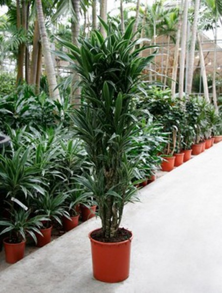 Dracaena deremensis - Drachenbaum Multistamm