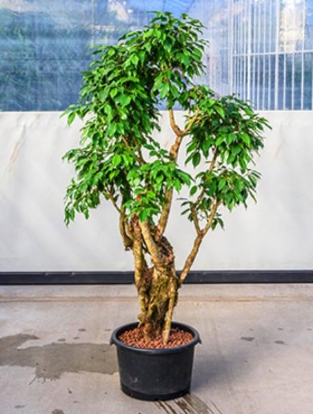 Ficus benjamina columnar - Birkenfeige verzweigt