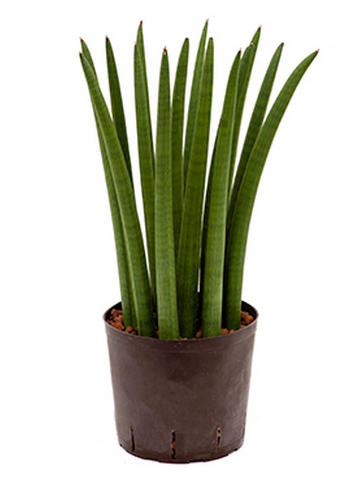 sansevieria cylindrica straight hydrokultur terrapalme. Black Bedroom Furniture Sets. Home Design Ideas