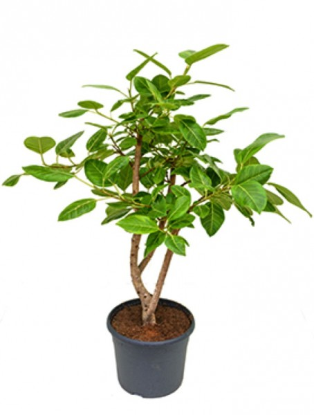 Ficus benghalensis - Banyanbaum Feige