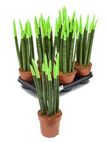 Sansevieria velvet touch 45 cm