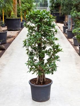 Ficus nitida compacta 150 cm - Lorbeerfeigen Pyramide